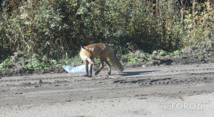 На трассу Марий Эл к проезжающим машинам выходят лисички