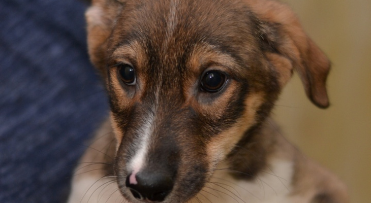«Звездные» щенки в Йошкар-Оле ищут новых хозяев