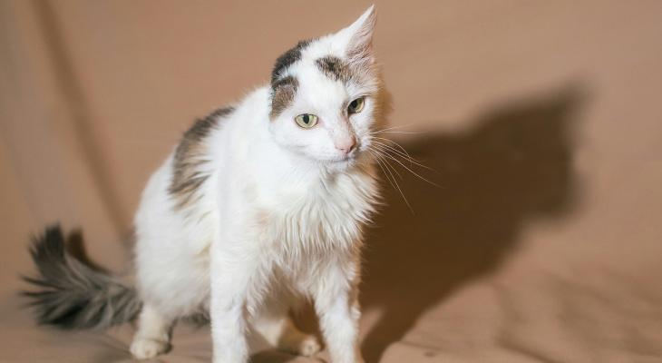 В Марий Эл ищут дом котику, который лишился уха из-за бывших хозяев