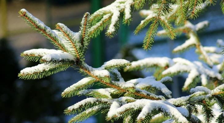 Могут ли йошкаролинцы подарить вторую жизнь новогодним елкам?