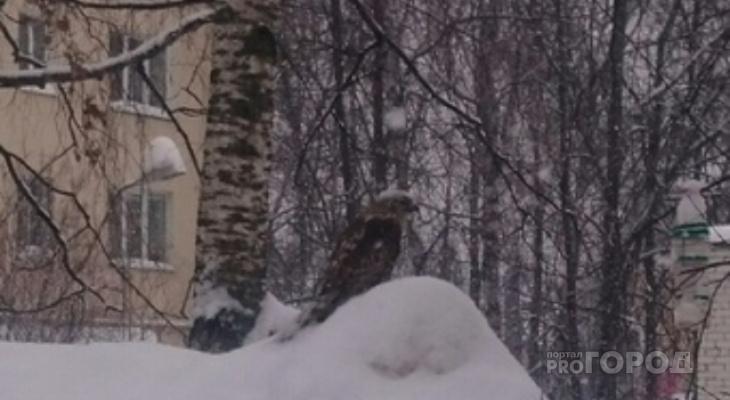 Во дворе дома в Йошкар-Оле на сугробе сидел раненый ястреб