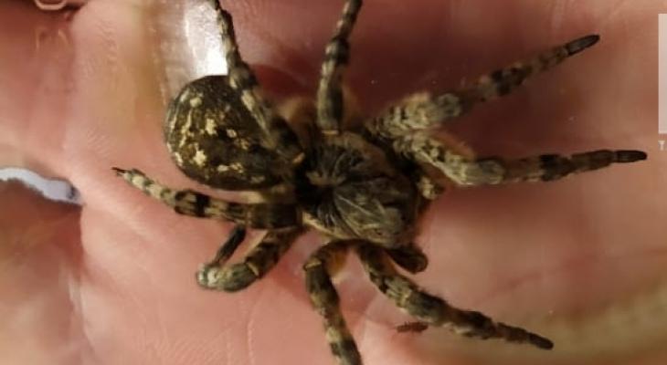 В Марий Эл обитает ядовитый паук, который напугал женщину