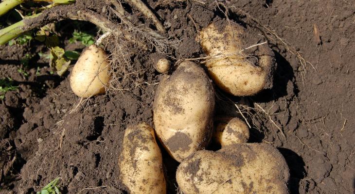 Советы для садоводов: когда и как йошкаролинцам копать картошку  на даче?