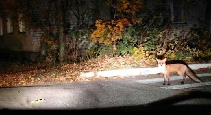 В пригороде Йошкар-Оле по ночам бегают лисы