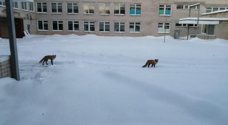 Две рыжие  лисы забежали во двор одной из школ Марий Эл