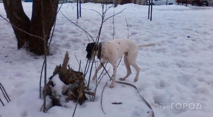 Питомцы могут  пострадать: йошкаролинцы о взрывах петард в местах выгула собак