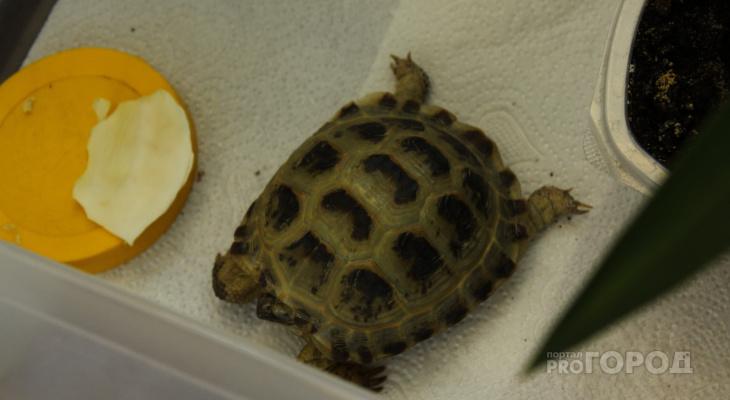 История со счастливым концом: черепашка, найденная в пригороде Йошкар-Олы, вернулась к хозяевам