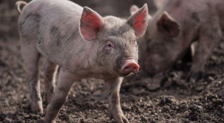 В Марий Эл ликвидируют африканскую чуму свиней