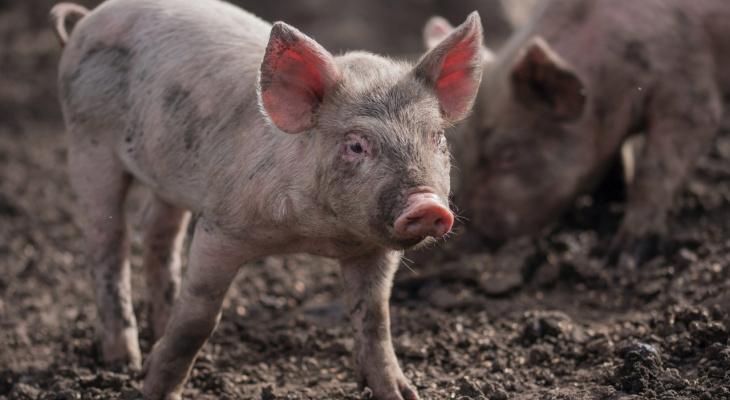 «Все животные равны, но некоторые равнее других!»: жители Марий Эл не смогут разводить скот на садовых участках